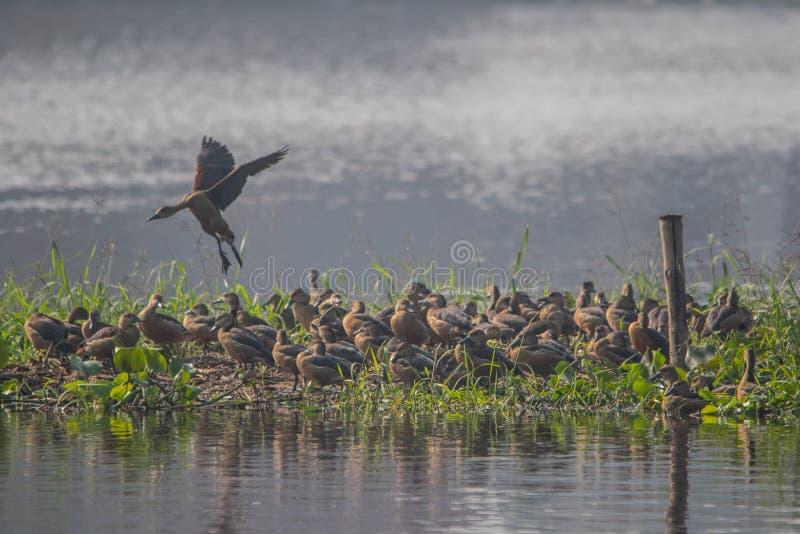 Peu de canard siffleur images stock