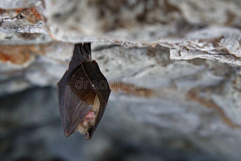 Peu de chauve-souris en fer à cheval, hipposideros de Rhinolophus, dans l'habitat de caverne de nature, kras de Cesky, tchèques S photo libre de droits