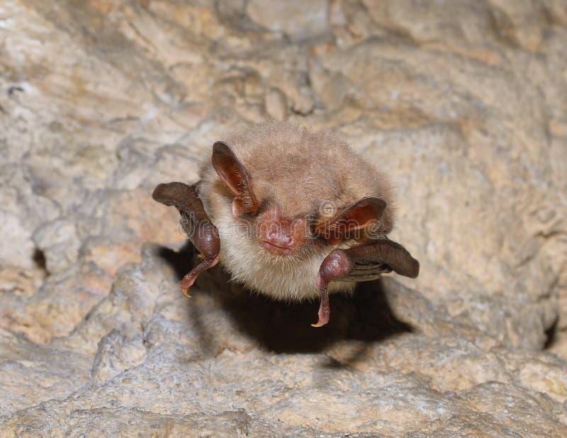 Peu de chauve-souris souris-à oreilles (myotis de Myotis) images stock