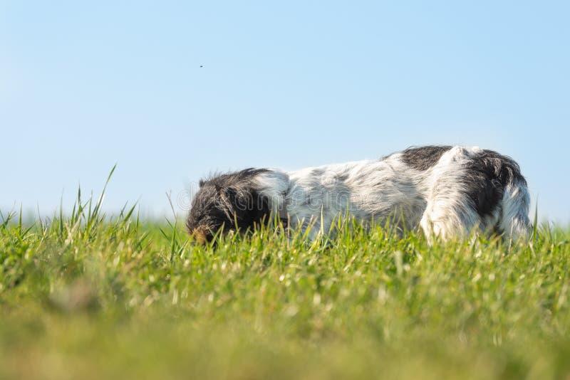 Peu de chien de Jack Russell Terrier dépiste une traînée et a son nez au sol dans l'avant grand de l'herbe Ind du ciel bleu images libres de droits