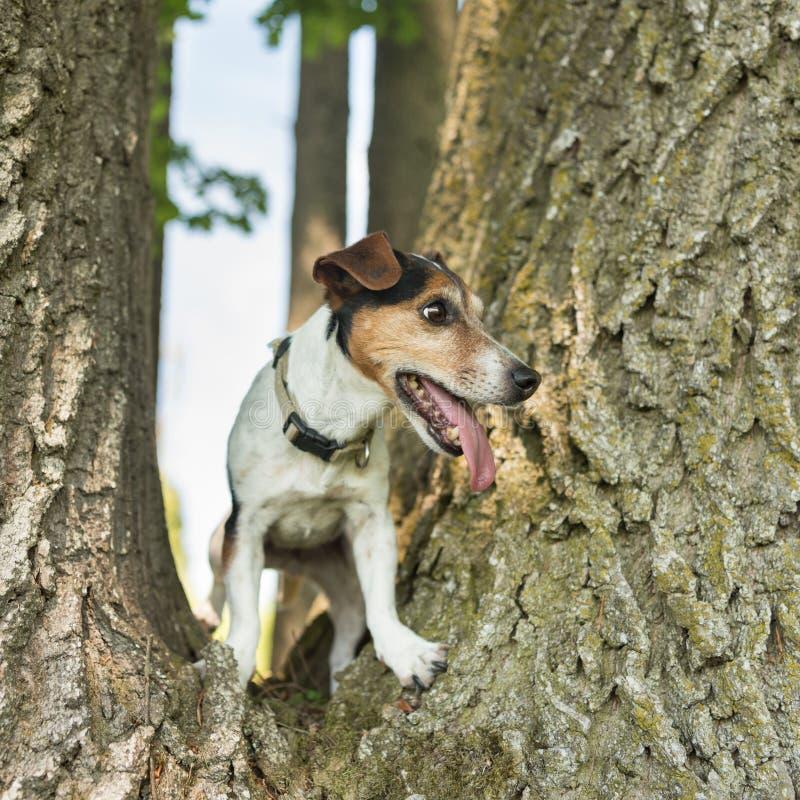 Peu de chien de Jack Russell Terrier grimpe à un arbre énorme photo libre de droits