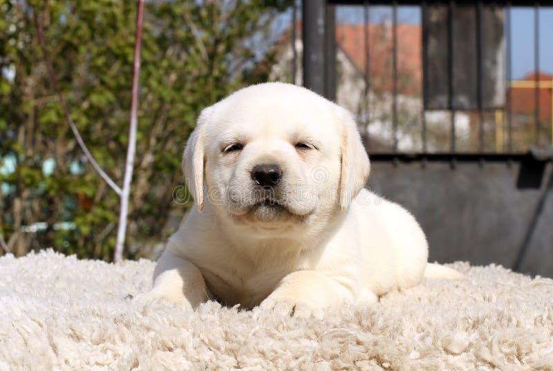Peu De Chiot De Labrador Sur Un Fond Beige Image stock - Image du ...