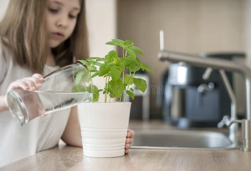 Peu de fille tient un verre transparent avec l'eau et l'usine d'arrosage Basil Ocimum Basilicum Soins pendant une dur?e neuve photo libre de droits