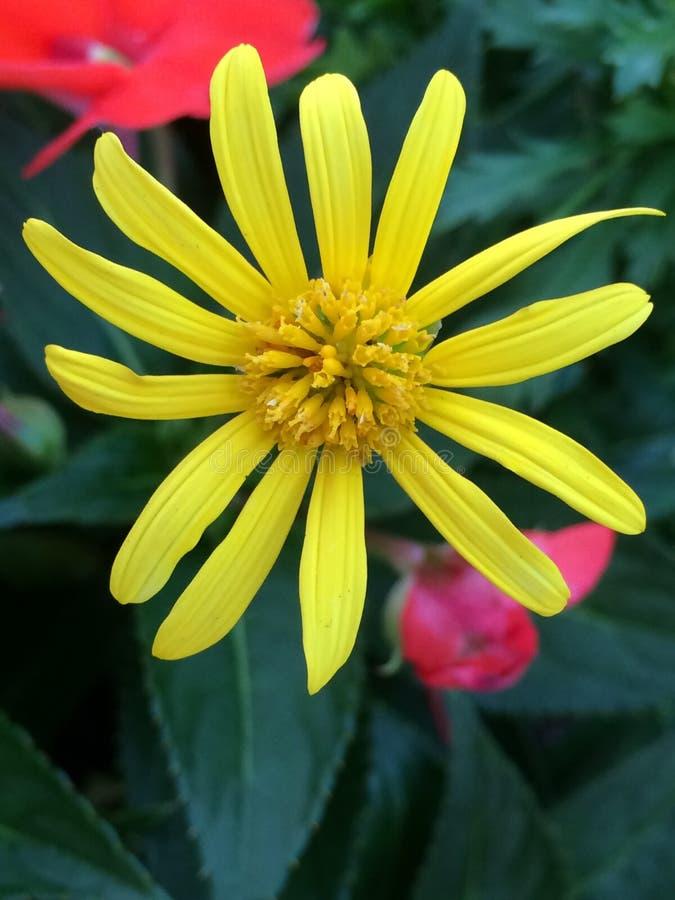 Peu de fleur jaune image libre de droits