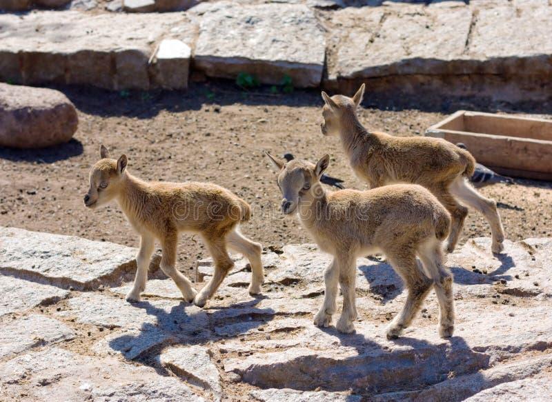 Peu de goatlings sauvages de montagne images stock