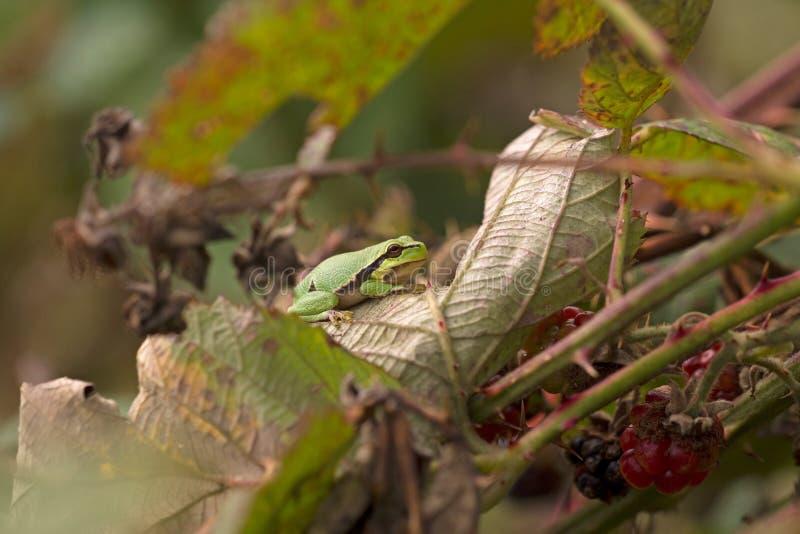Peu de grenouille d'arbre est dans une mûre photographie stock libre de droits