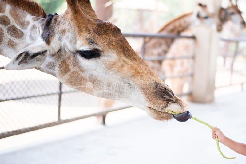 Peu de haricot de girafe d'alimentation des enfants long photo libre de droits