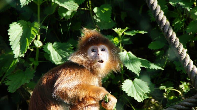 Peu de langur de Javan au zoo de Beauval photos libres de droits