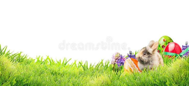 Peu de lapin de Pâques avec des oeufs et des fleurs dans l'herbe de jardin sur le fond blanc, bannière image stock