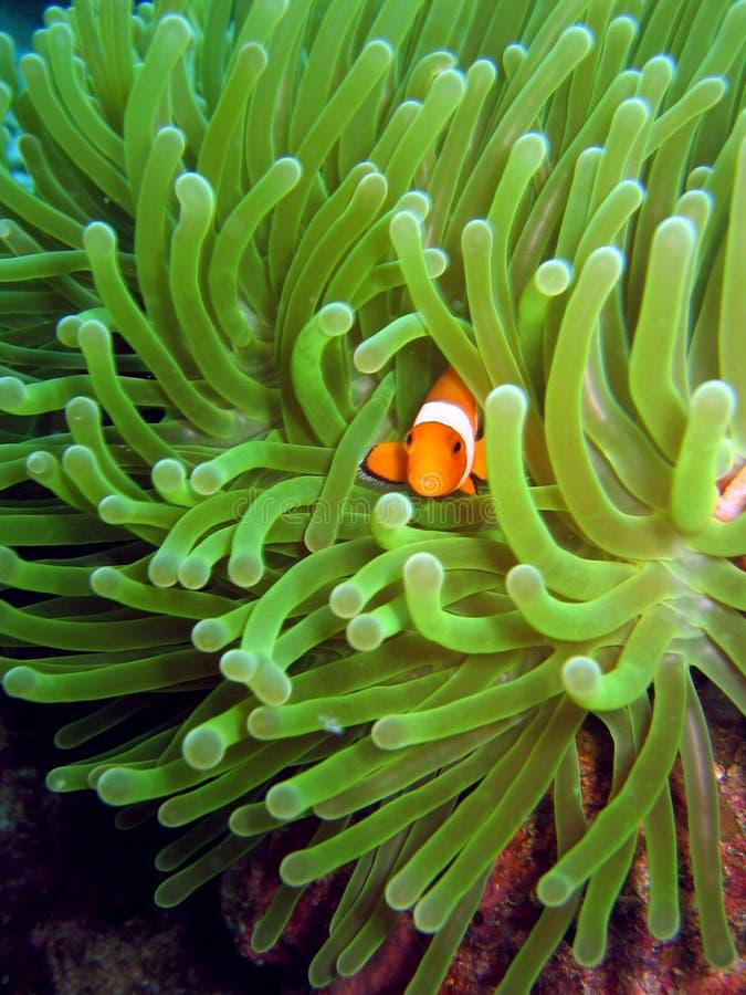 Peu de Nemo photographie stock