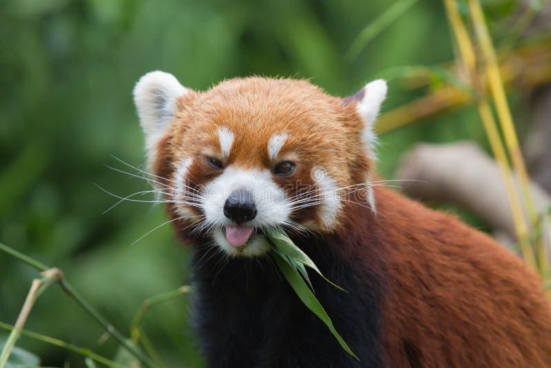 Peu de panda photo stock