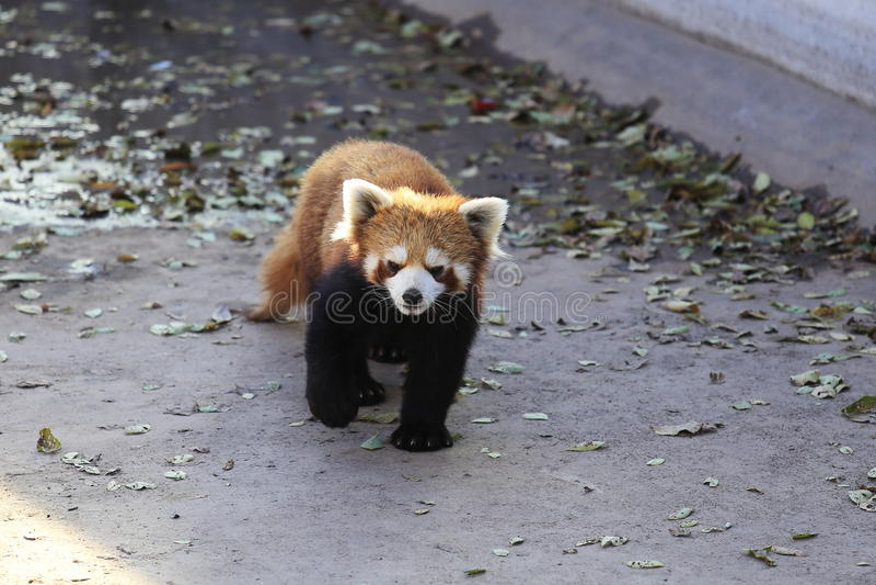 Peu de panda image stock