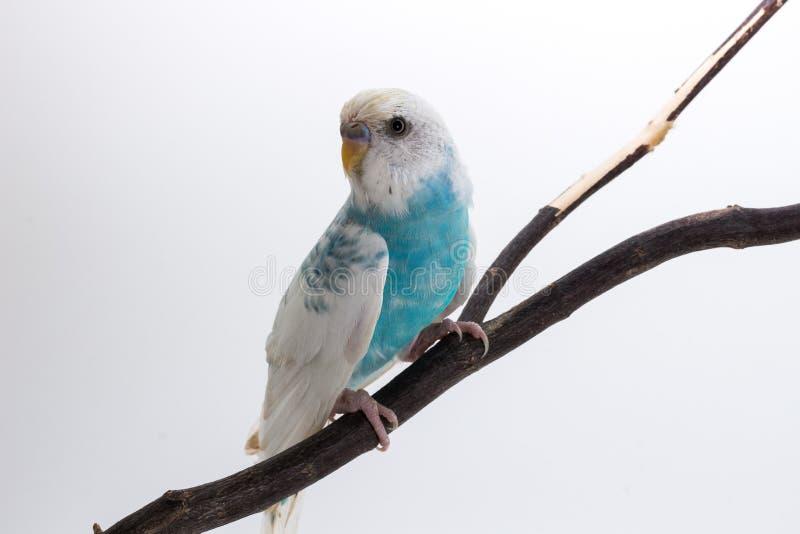 Download Peu De Perruche Mignonne, Perruche, Oiseau Photo stock - Image du blanc, animal: 87709422