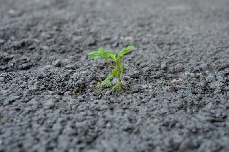 Peu de pousse de fleur se développe par l'au sol urbain d'asphalte images stock