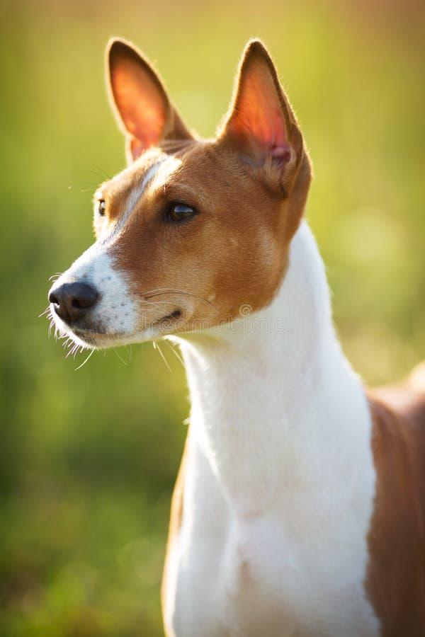 Peu de race de Basenji de chien de chasse photos stock