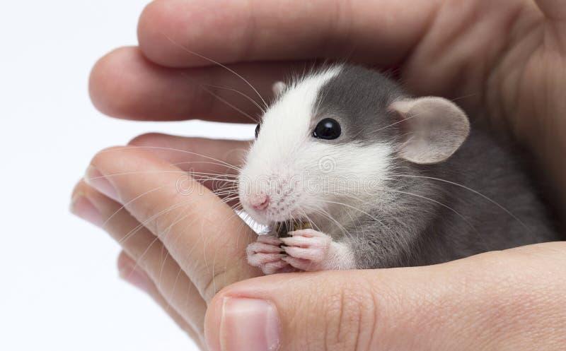 peu de rat à disposition images stock