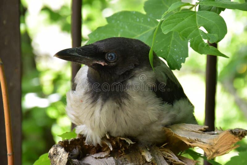 Peu de Raven dans l'arbre photographie stock