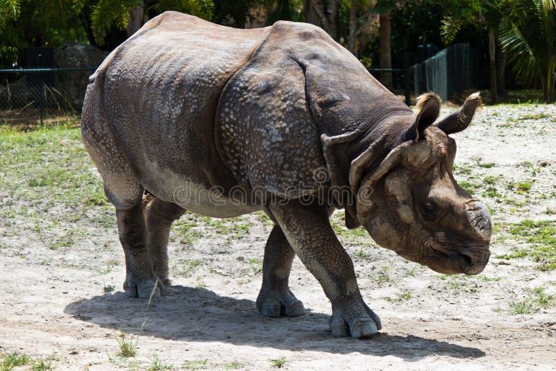 Peu de rhinocéros un-à cornes également connu sous le nom de rhinocéros de Javan images libres de droits