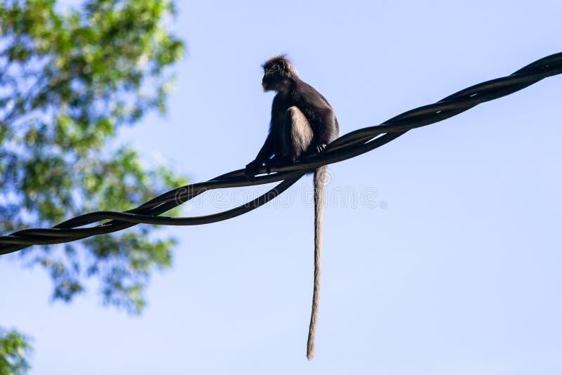 Peu de singe de feuille ou Langur sombre dans la forêt tropicale image libre de droits