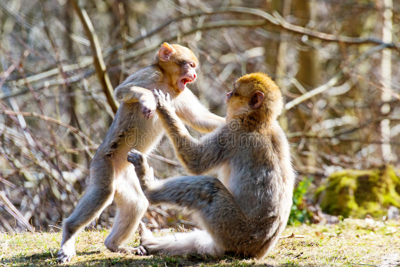 Peu de singes de Berber combattent ensemble photo libre de droits