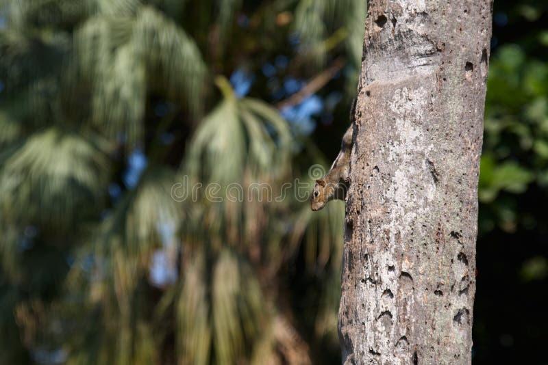 Peu de tamia se reposant sur le palmier en parc de touristes dans Goa Le rongeur n'a pas peur des personnes et de sauter sur des  images stock