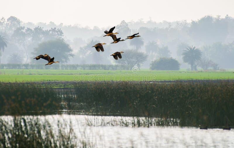 Peu de vol siffleur de canards photos libres de droits