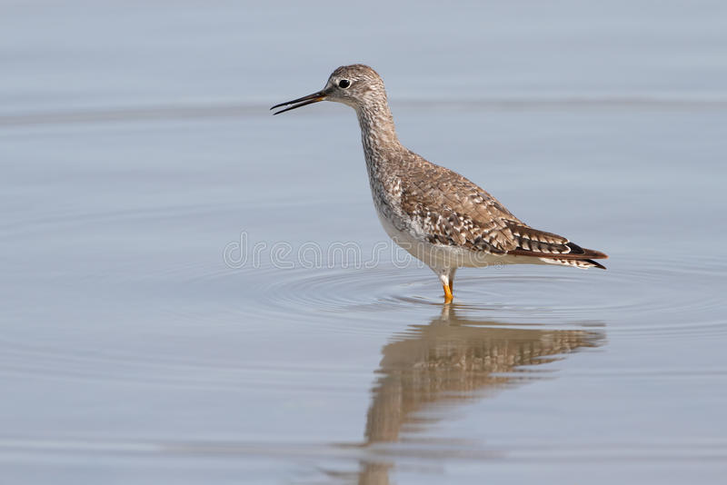 Peu de Yellowlegs - le Texas photos libres de droits