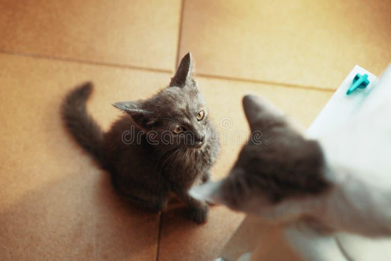 Peu des chatons jouent, des chats ou des animaux familiers images libres de droits