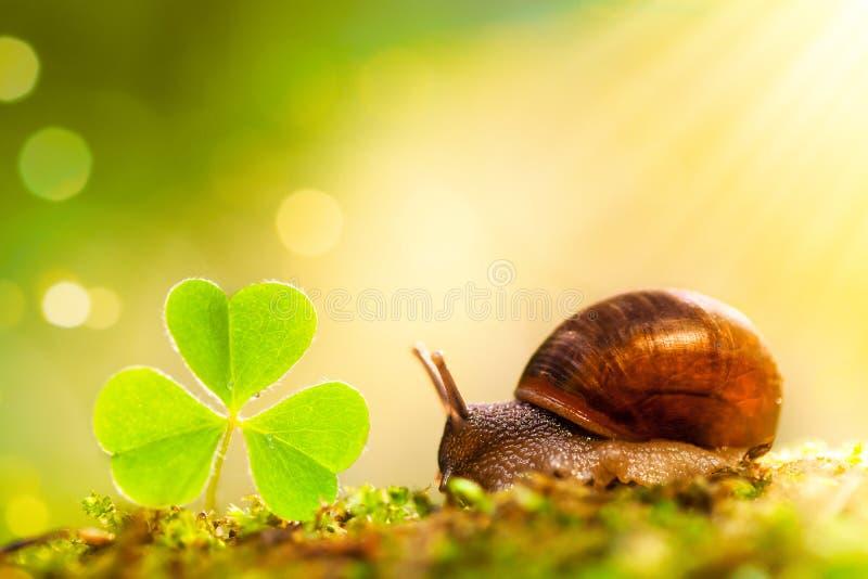Peu escargot et feuille verte d'oxalide petite oseille dans le rayon du soleil sur le fond de forêt Beau macro paysage de nature image stock