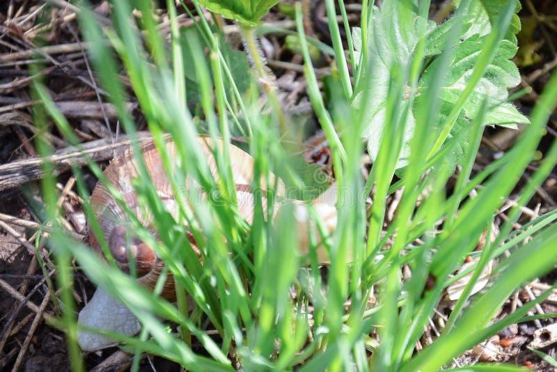 Peu escargot s'est caché dans l'herbe photo libre de droits