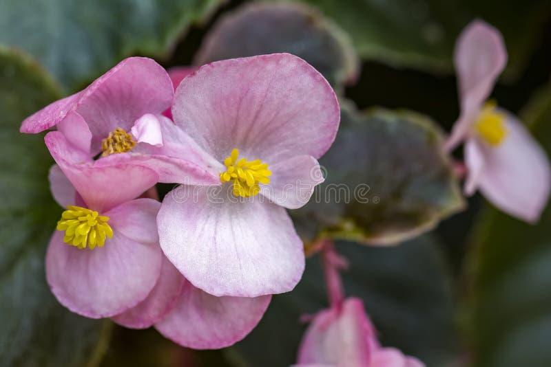 Peu fleurs roses dans la fin vers le haut de la photo photos stock