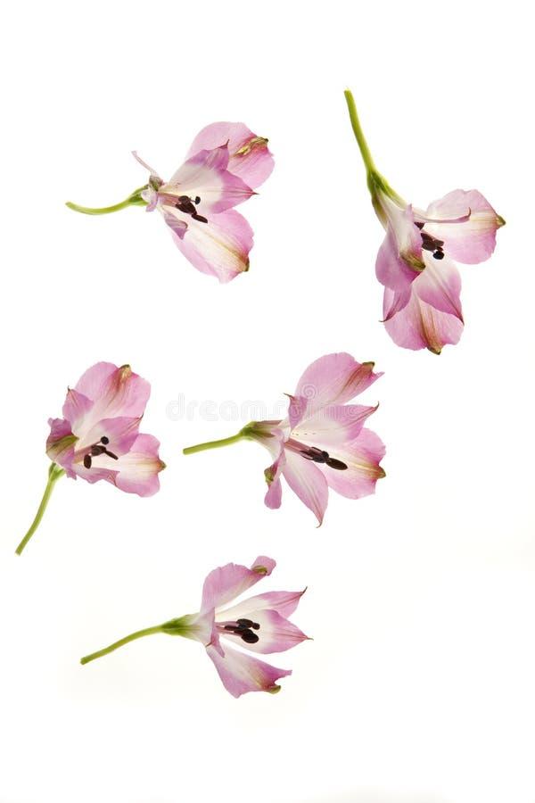 Peu fleurs roses roses photos libres de droits