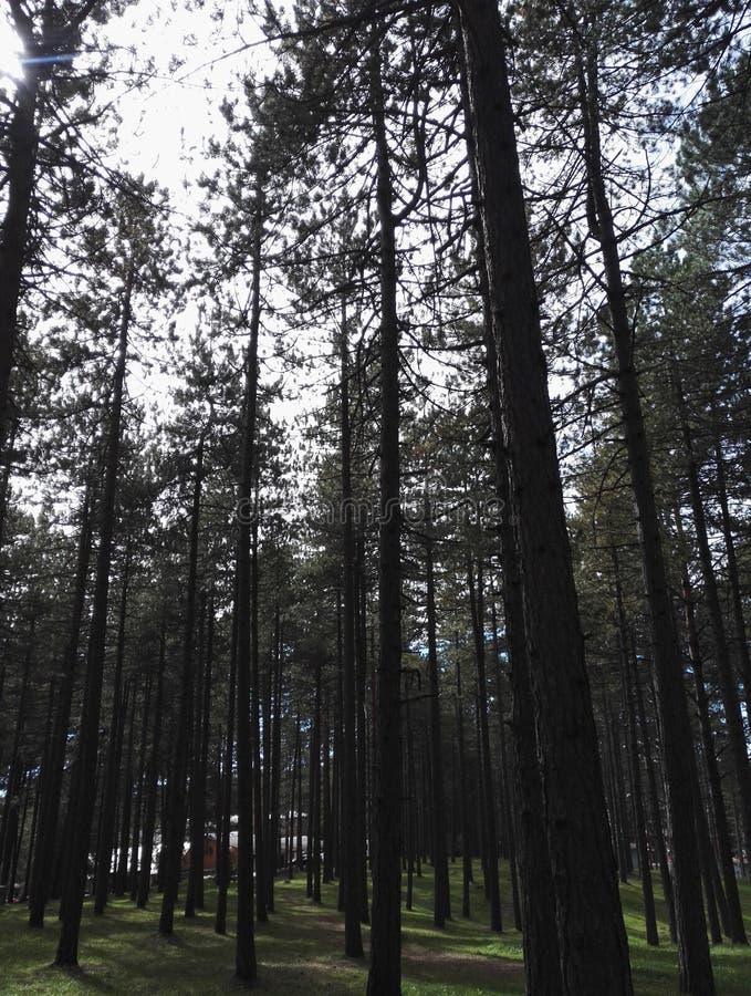Peu forêt sur Zlatibor, Serbie, un bon nombre d'arbres photos libres de droits