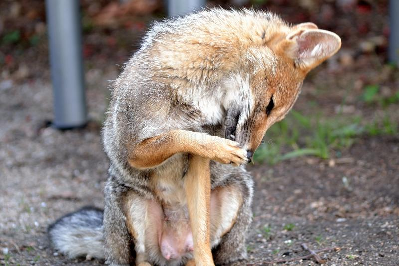 Peu Fox femelle sur Fuzzy Background photo stock