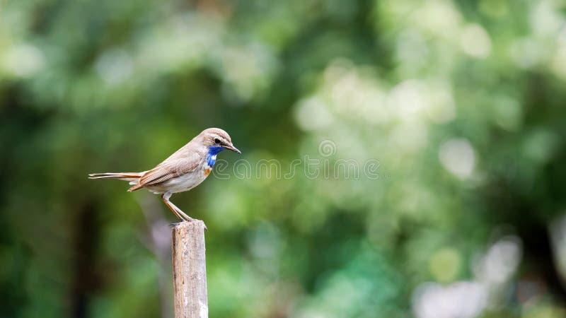 Peu gorge bleue d'oiseau sur un pilier en bois de barrière sur le fond brouillé vert de nature photos stock