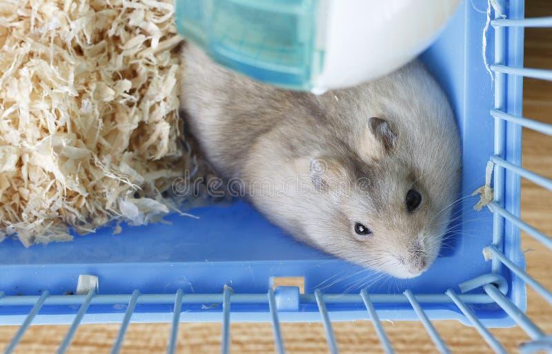 Peu hamster pelucheux dans une cage sur le fond de la vue supérieure de sciure photographie stock libre de droits