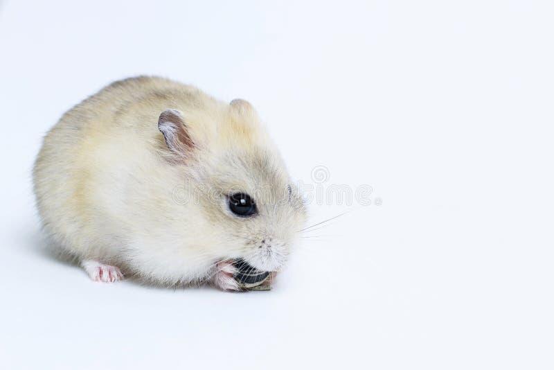 Peu hamster pelucheux mange une graine, sur le fond blanc, vue de côté images stock