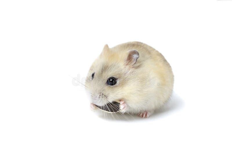 Peu hamster pelucheux mangeant une graine, d'isolement sur le fond blanc photographie stock