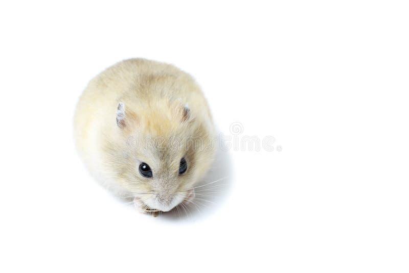 Peu hamster pelucheux mangeant une graine, d'isolement sur le fond blanc images libres de droits