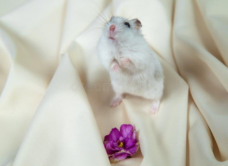Peu hamster sur un fond clair avec une grande fleur de violette sur ses jambes de derrière photos libres de droits