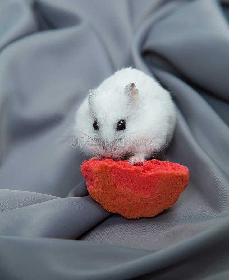 Peu hamster sur un fond gris avec grands biscuits photographie stock libre de droits