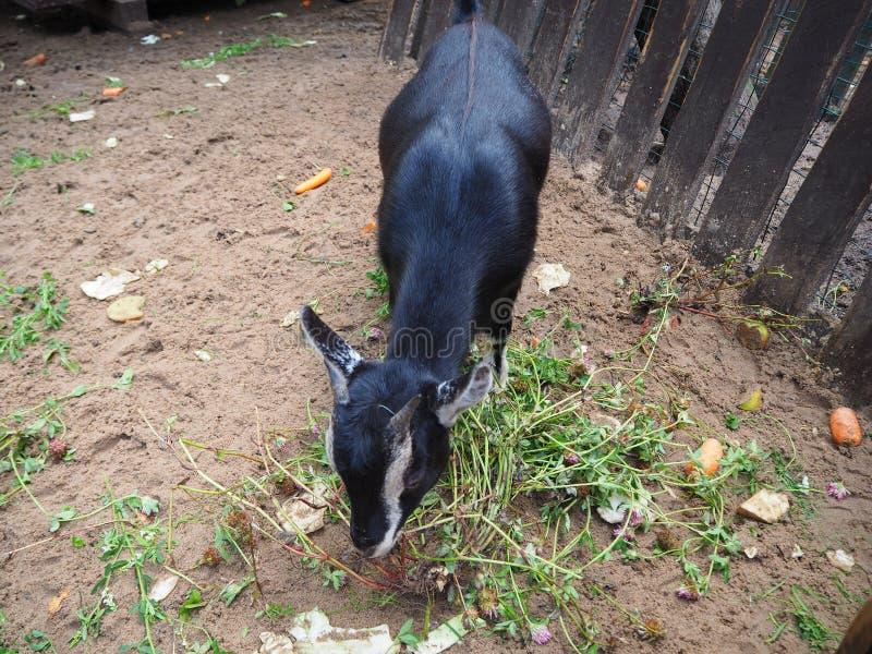 Peu hircus noir d'aegagrus de Capra de chèvre de bébé mangeant l'herbe verte dans la cour animale photo stock