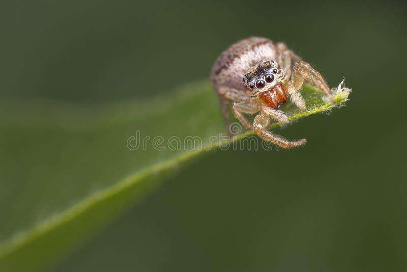 Peu imperialis sautants de Thyenne de salticidae d'araignée observant pour la proie sur sa feuille images stock
