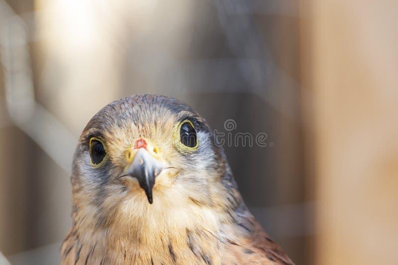 Peu jour ensoleillé de faucon L'oiseau de prient images libres de droits