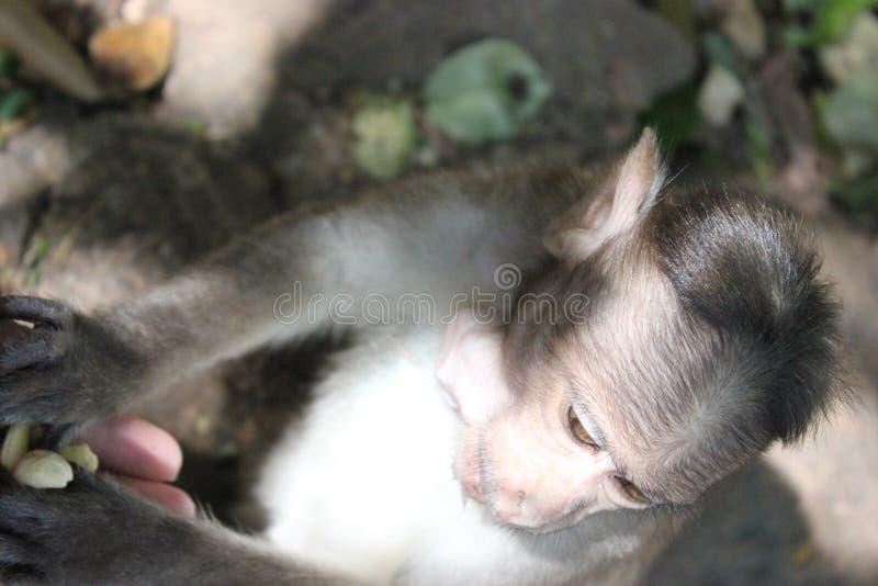 Peu la tête du singe photo stock
