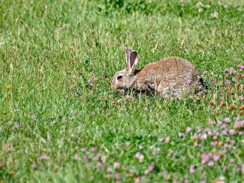 Peu lapin pelucheux mignon Symbole de Pâques Lapin-Pâques dans la culture d'une certaine Europe occidentale, du Canada et des Eta photo libre de droits