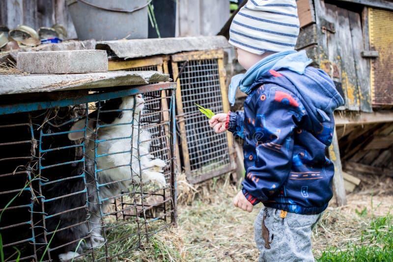 Peu lapins de alimentation d'enfant image libre de droits