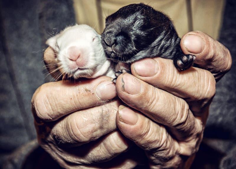 Peu lapins noirs et blancs sur les mains images libres de droits