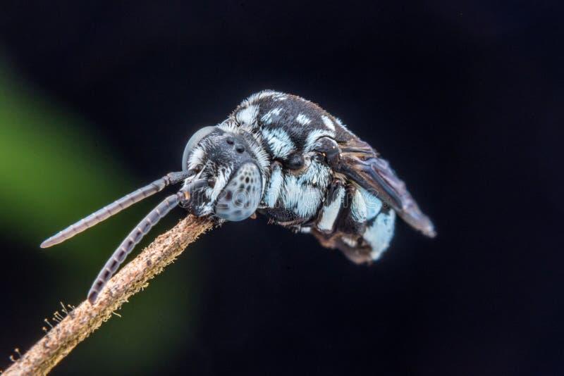 Peu macro tir d'abeille adorable images libres de droits