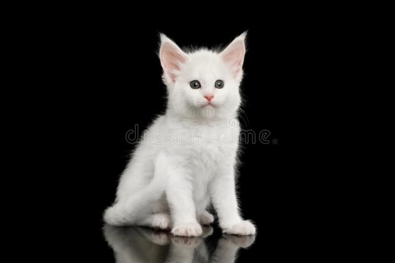 Peu Maine Coon Kitten Isolated blanche sur le fond noir photographie stock